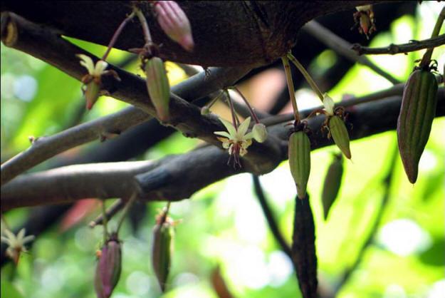 About Original Hawaiian Chocolate